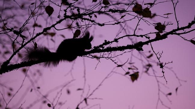 purpsquirrel